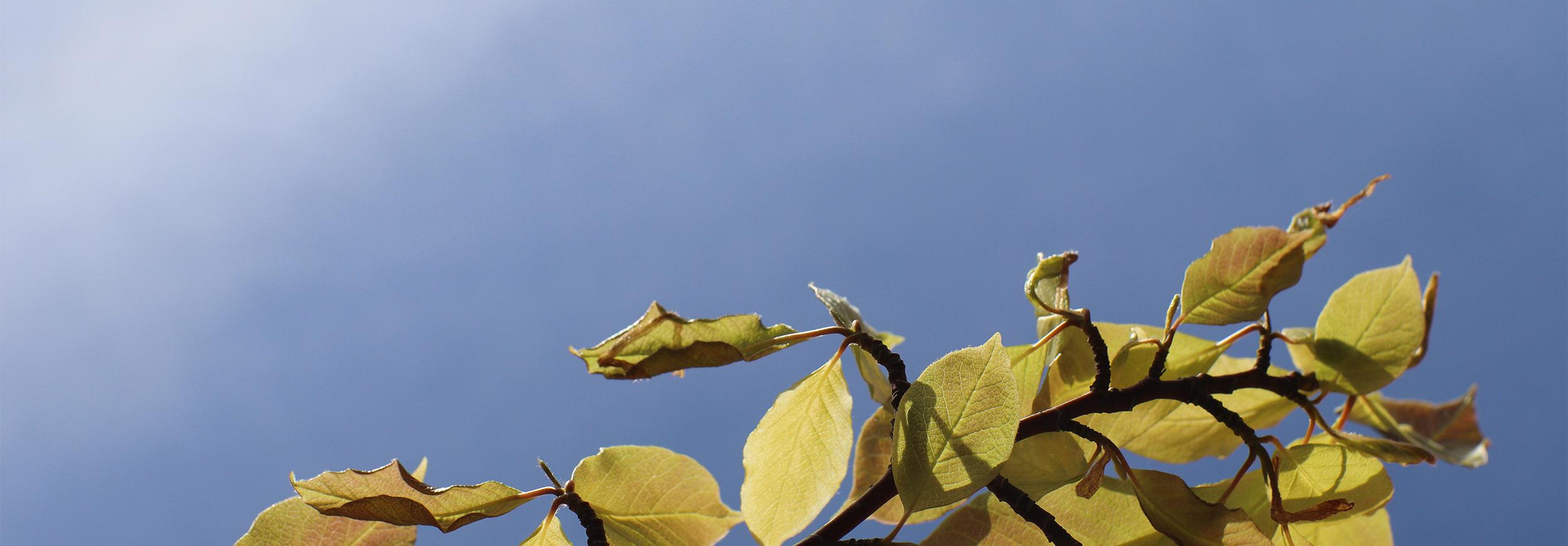 Gröna blad mot blå himmel