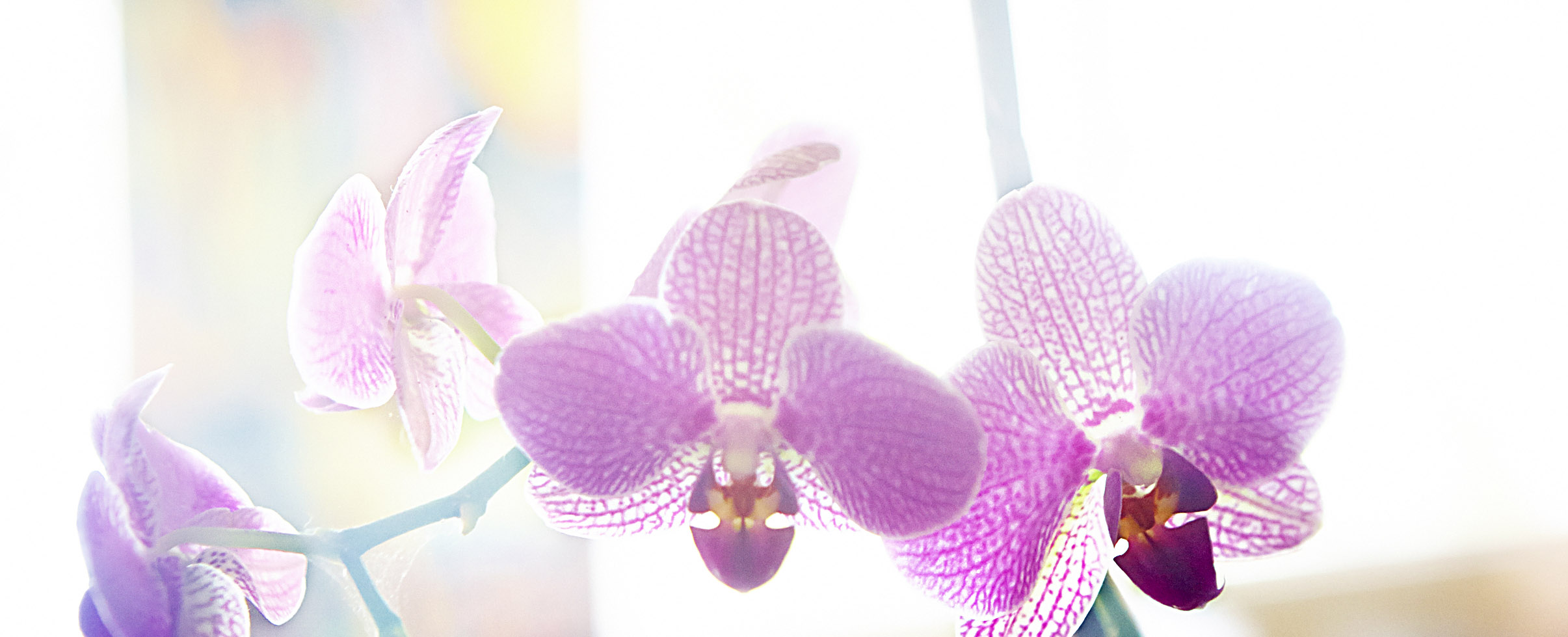 lila orkideér
