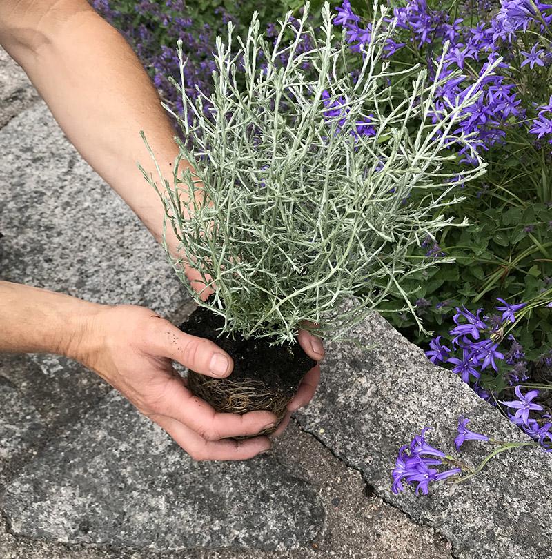 blid på händer som planterar en blomma